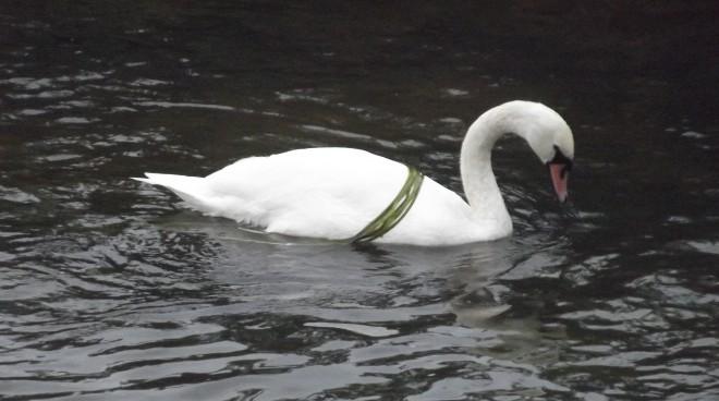 An elegant swan wearing a fetching green ribbon