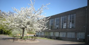The flowering cherry outside the school hall