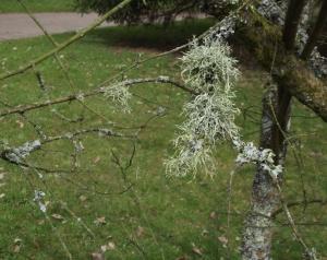 lichen (8)